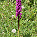 stattliches Knabenkraut (wilde Orchidee) (PIP)