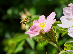 Bee about to land on a Dog Rose