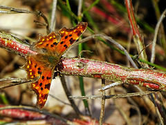 C-Falter (Polygonia C-album) Comma Butterfly