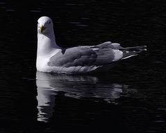 Gull 00 20130329