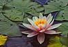 Die Königin der Wasserpflanzen - The Queen of aquatic Plants