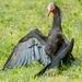 Northern bald ibis