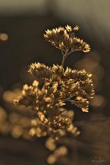 Bartblume im Herbst