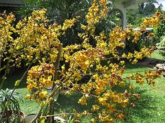 Cyrtopodium, Orchidée géante