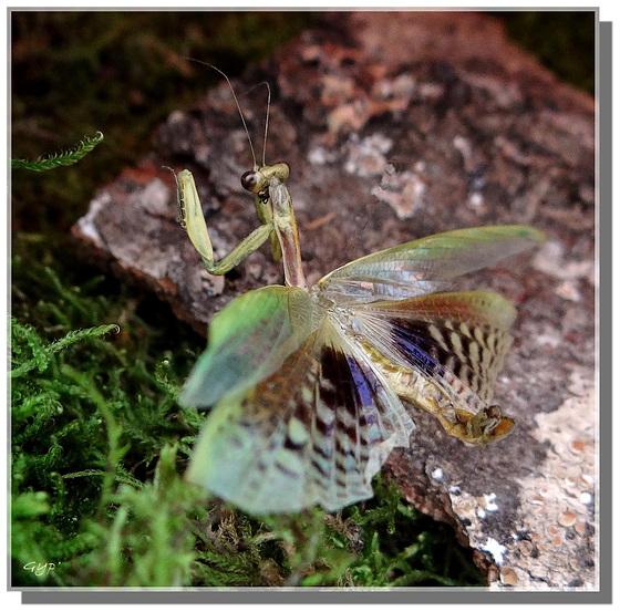 Iris oratoria mâle