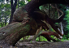 Zwei alte gebeugte Giganten - Two old bent Tree Giants