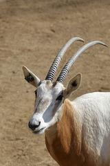 Säbelantilope (Wilhelma)
