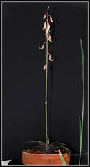 Gasteria bicolor