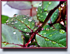 Rain drops at Rose sheets. ©UdoSm