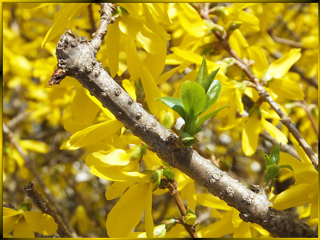Forsythie. Spring is in the air... ©UdoSm