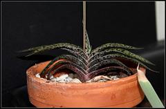 Gasteria bicolor liliputana (2)