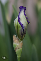 357/366: Bearded Iris with Spiral