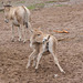 Onager and young,.chasing its tail.