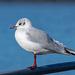 Gull at New Brighton
