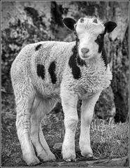 Spring Ram Lamb