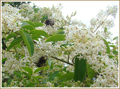 Bees on Privet.