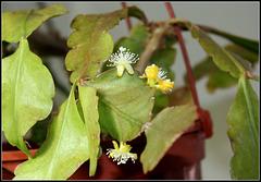 Rhipsalis -Lepismium ellipticum (1)