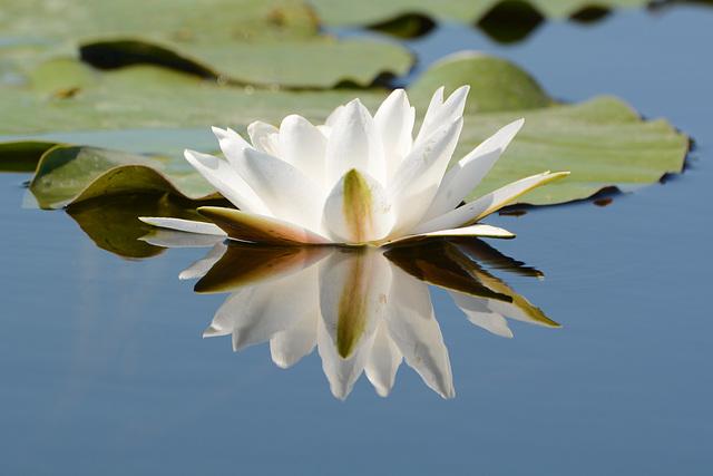 Киев, Ольгин остров, Отражение белой лилии / Kiev, Оlghin Island, Reflection of a White Lily