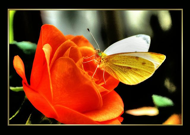 Butterflies evening visite. ©UdoSm