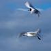 Gulls in flight6