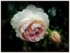 Une rose pour vous mes ami(e)s .........Bon mardi !