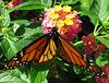 Monarch  on Lantana (Explored)