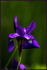 Black Iris in Late Afternoon Light