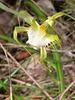 Caladenia tentaculata, Spider Orchid