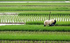 Reisanbau in Vietnam (© Buelipix)