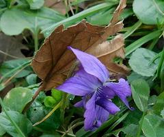 La première...violette...