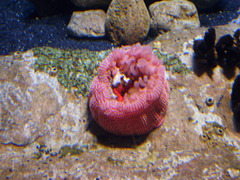 Strawberry anemone (Urticina lofotensis).