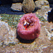 Strawberry anemone (Urticina lofotensis).