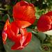 En Avril, découvre les tulipes, en Mai, c'est le tour du muguet !