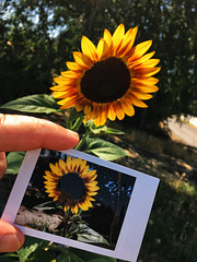 Sunflower + Instant Sunflower