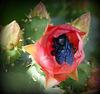 succulento fico d'india ;-)