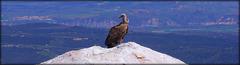 Griffon Vulture (please enlarge)