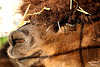 Mr. Al Paca --  after a roll in the hay ...