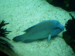 Napoleon-fish (Cheilinus ondulatus).