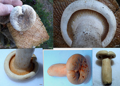 Any ID ideas? Mushroom growing in flowerbed next to lawn in northern Scotland.