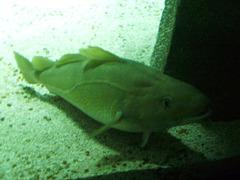 Atlantic cod (Gadus morhua).