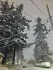 Tall Snowy Pines