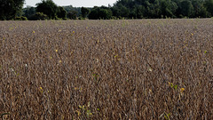 Soybeans in Brown