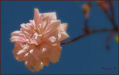 Rose du soir ............Bonsoir à tous !