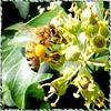 Honigbiene (Apis). ©UdoSm
