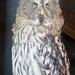 Owl portrait (1)