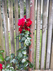Roses On A Fences.
