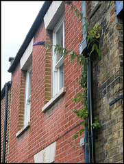 Cranham buddleia growing back