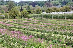 Aroniabeeren im insektenfreundlichen und biologischem Anbau