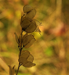 Seedheads Of Lace
