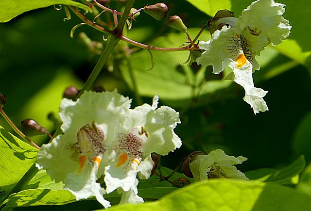 Catalpa bignonioides nana